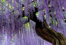 "Wisteria / ""Wisteria plumes sweep the earth, and soon  the rains will fall."" ~Masaoka Shiki"
