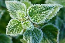 Wildpflanzen im Winter / Auch in der kalten Jahreszeit gibt es ein paar Wildpflanzen und Kräuter, die immer mal wieder etwas wachsen. Mit etwas Geduld und einem guten Spürsinn, kannst du diese Pflanzen auch im Winter finden und nutzen.