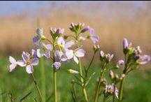 Wildkräuter-Kalender April / Wildpflanzen-Erntekalender für den Monat April