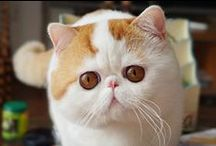 Cat - SNOOPY the Cat / Snoopy the Cat (大肥猫宝儿) is one of the most popular cats in the world especially in China. She is an Exotic Shorthair cat with a lovely master that takes pictures of her everyday.  / by Cassandra Andrea