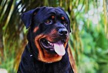 "Gorgeous #Rotty / ""All dogs are pets, Rottweilers are family"" Every Rottweiler owner can confirm this saying. Rottweilers are very popular because they are perfect guard dogs, and moreover they are true loyal members of the family. This board is dedicated to this awesome breed. We hope you will enjoy our pins! / by ForDogTrainers.com"