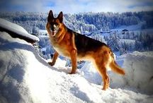 Love to #GSD / by ForDogTrainers.com