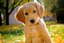 Meet #Golden #Retriever! / by ForDogTrainers.com