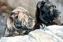 #Cane #Corso - so strong  / by ForDogTrainers.com