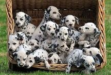 #Dalmatian / by ForDogTrainers.com