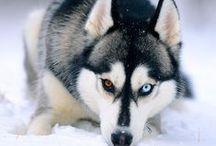 #Siberian #Husky / by ForDogTrainers.com
