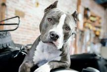 #Pitbull / by ForDogTrainers.com