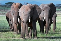 Elephants / by Pat Snyder