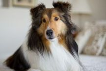 Lovely #Sheltie and #Collie / by ForDogTrainers.com