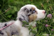 #Aussie Love (#Australian #Shepherd) / by ForDogTrainers.com