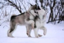 #Alaskan #Malamute / by ForDogTrainers.com