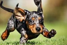 #Doxie having fun (#Dachshund) / by ForDogTrainers.com