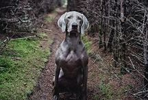 #Weimaraner #Dog #Breed / by ForDogTrainers.com