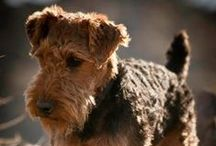 #Welsh #Terriers are the best / Welsh Terriers / by ForDogTrainers.com