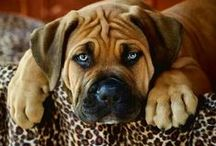 Strong #Boerboel / by ForDogTrainers.com