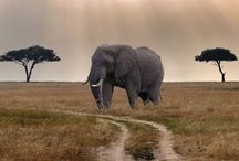 Animals : Pachyderms / by Cullen Rooney