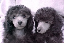 Poodles / All things poodle in all sizes.  I LOVE the breed. / by Lynn Carawan