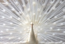 Albino peacock / Peacock are forest birds that nest on the ground but roost in trees. They are terrestrial feeders. All species of peacock are believed to be polygamous.