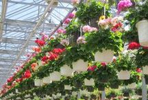 What's Growing / What's growing in our greenhouses in Woburn, MA. Coming to a Mahoney's near you soon!