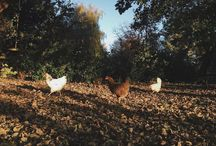 Chickens / The joy of keeping hens.