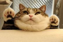 """Feline Obesity: An Epidemic of Fat Cats / Fat Cats with the """"DIABEETUS""""!"""