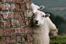 I See Sheep Everywhere