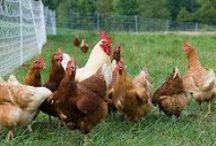 Chicken dreams