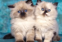 "Kitty Cats / I have a Himalayan Cat ""Sheba"" who stays indoors. I have 4 barn cats ""Delilah, Frankie, Sammy & Dino"" that have been fixed and are well cared for and loved! / by Gayle Evans"