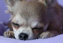 Chihuahua Love /   / by Olivia McCormick