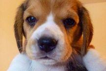 Precious Beagles! / by Donna Navarro
