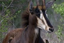 Deer, Moose, Antelope etc