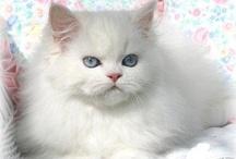 Gatos persa / Persian Cats / by Kalidi