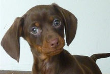 Doxie's / Love of wiener dogs!! / by Christy Broucker Parrish