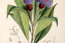 Botaniske illustrationer