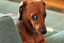 PETS | My Dachshunds / Humor, products, and other cute stuff that only a dachshund owner can relate to, need, or understand. / by Linda Cruz