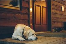 Dogs and Stuff / Yellow Lab