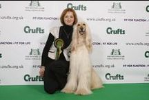 Afghan Hounds in action