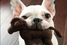 *~ French Bulldogs ~* / ONLY THE CUTEST DOGS EVER!!! Even though all dogs rock the socks off life, these justmakemewanttosqueezetheirtinylittlesquashedfaces!!