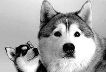 Dogs / by SiberianArt by Amit Eshel