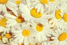 daisy do's