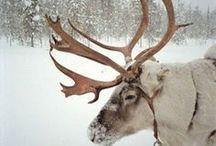 Deer/Reindeer/Moose / by Kassidy Cullen
