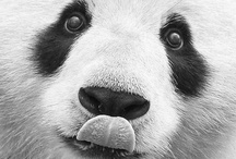 PANDAS / Oh how i adore pandas !!!  Life long love xxxx / by Andrea Hyland