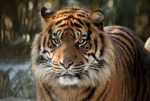 Tigers / by Kristal Roebuck