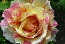All In a Golden Afternoon ✿ / Landscaping tricks, gardening tips, and flower types