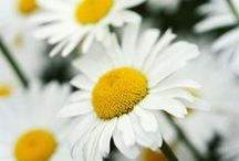 Crazy for daisys / by Ashley Ulibarri