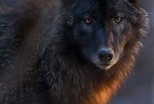 Photos - Wildlife - Wolves & Kin / Wolves, foxes, coyotes, and their wild relatives