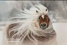 Horses - Wild Manes & Tails / I love horses with wild manes and long tails. These are typically in breeds such as the Friesian, Andalusian, Haflinger, and Gypsy Vanner, but can be found occasionally on other breeds too, such as quarter horses.