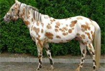 Horses - Spotted / Appaloosas, roans, and other small spot markings