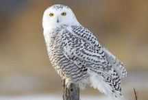 Photos - Birds of Prey / Eagles, hawks, owls, falcons, and other raptors