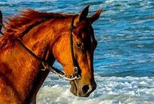 Horses - Fire / Chestnuts, sorrels, red duns, blood bays, and other reddish horses- It's about appearance, not genetics. If it looks red, it goes here, regardless of the technical genetic categorization. :)
